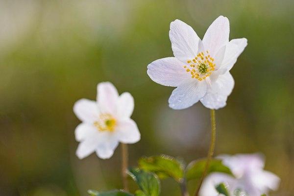 Pair of Wood Anemone Flowers