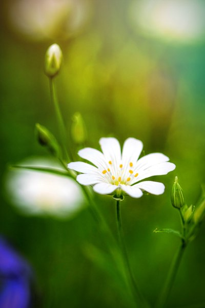 Stitchwort in the Wood