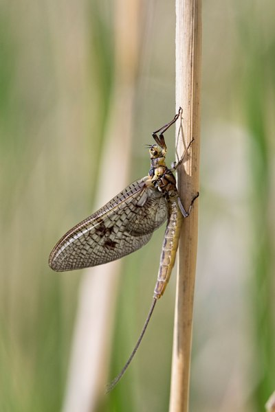 Mayfly on reed