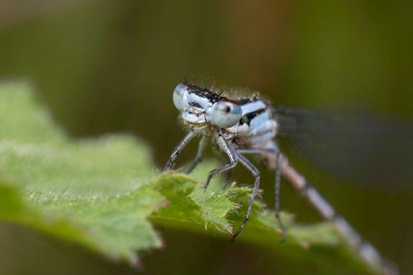 Common Blue on Nettles