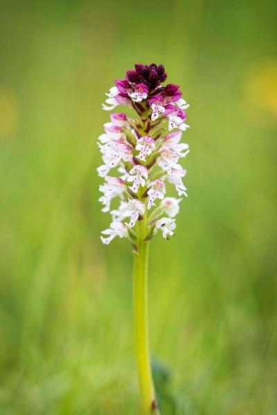 Burnt Tip Orchid