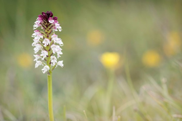 Burnt Tip Orchid (2)