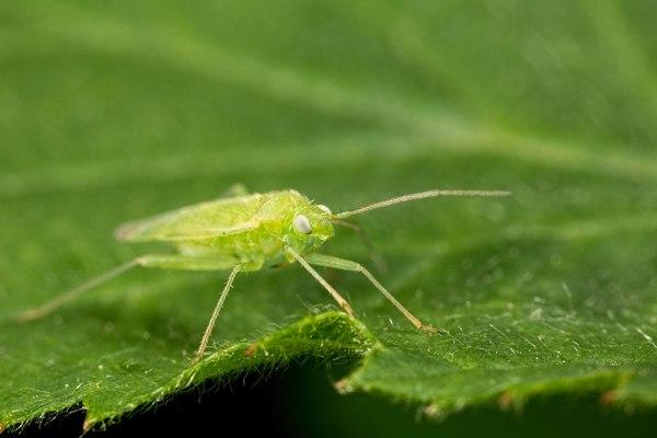 Green Bug (1)