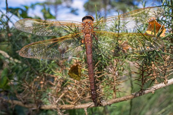 Brown Hawker HDR