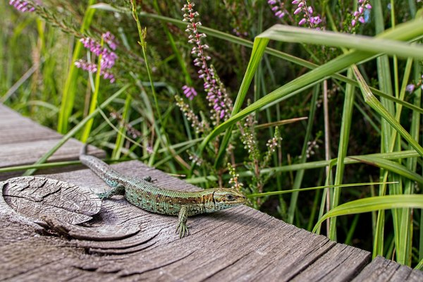 Lizard on the boardwalk