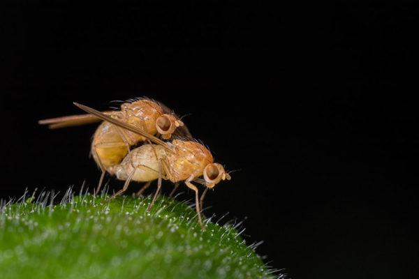 Mating Rust Flies