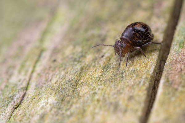 Allacma fusca - Springtail on a Post