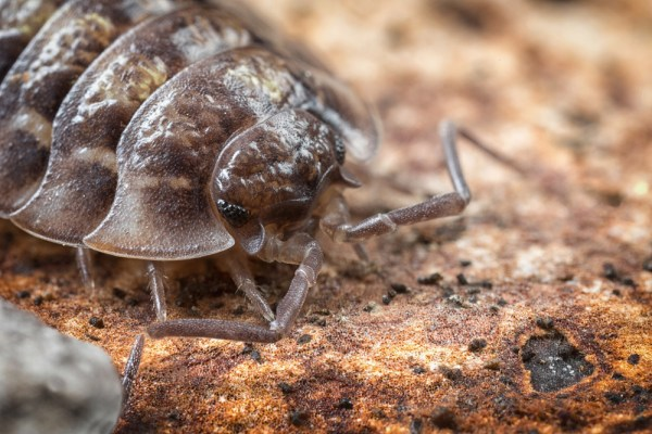 Oniscidea (4 images stacked in Helicon Focus)