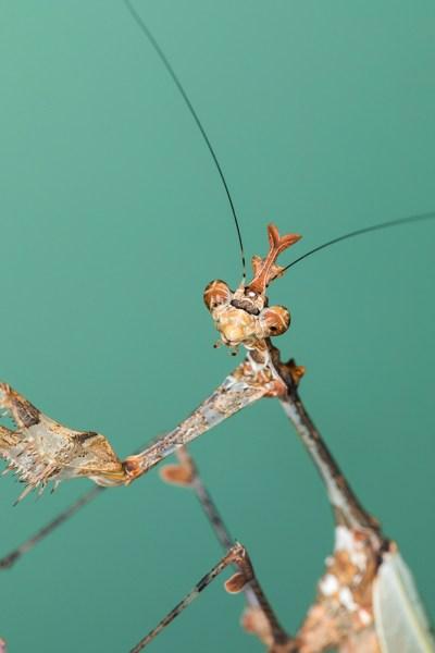 Cryptic Mantis