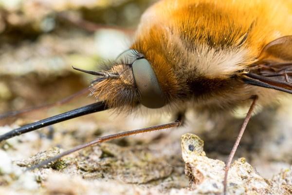 Beefly Eyes