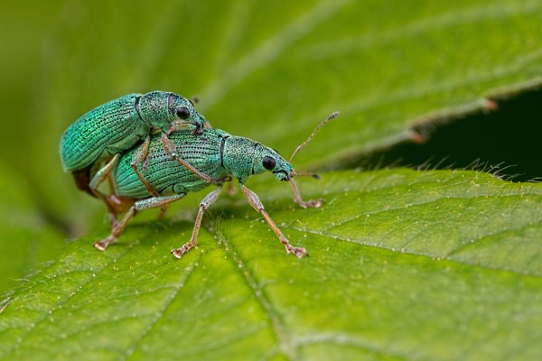 Mating Nettle Weevils