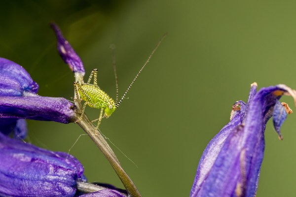 Cricket nymph on bluebells