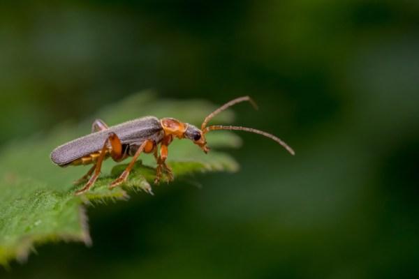 Soldier Beetle on Neetle