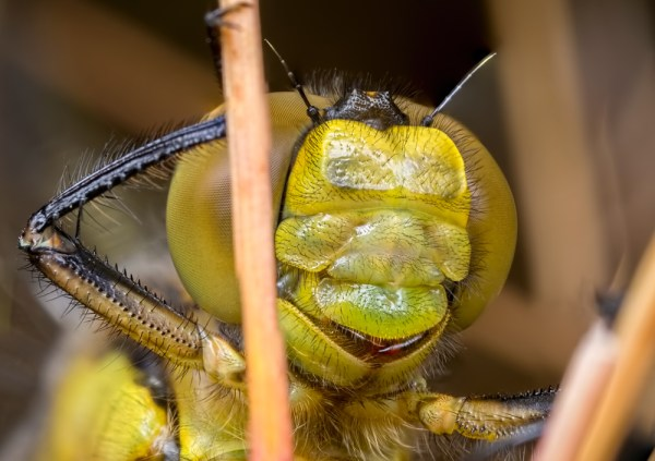 Black-tailed Skimmer Face Portrait ( 3 images stacked )