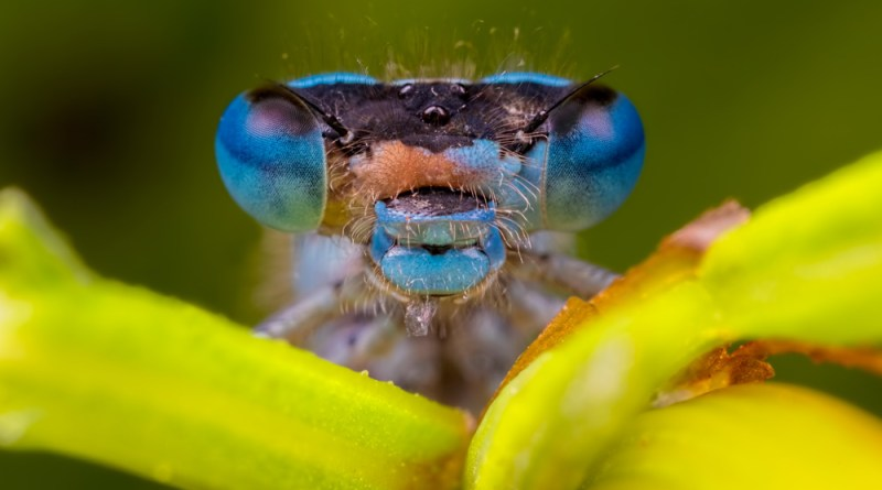 Damselflies up close and personal 2017