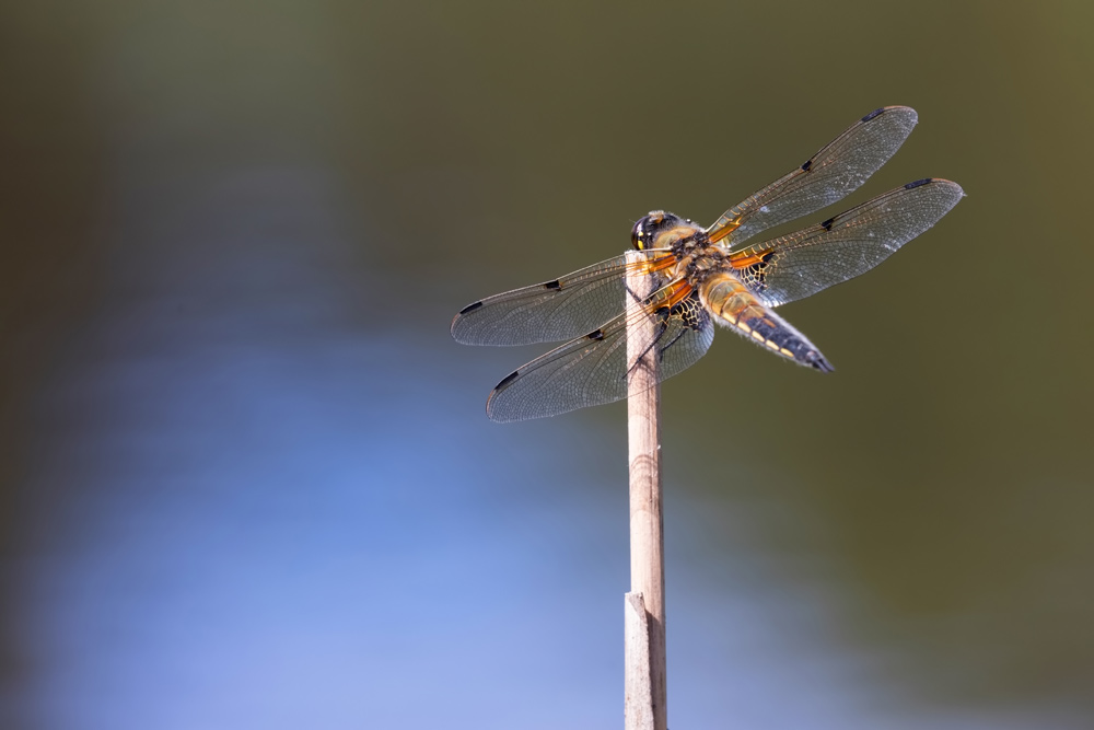 Dragonflies from Dunyeats Heath