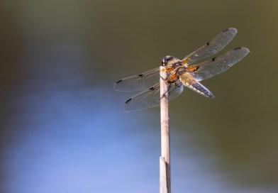 Dragonflies from Dunyeats Heath