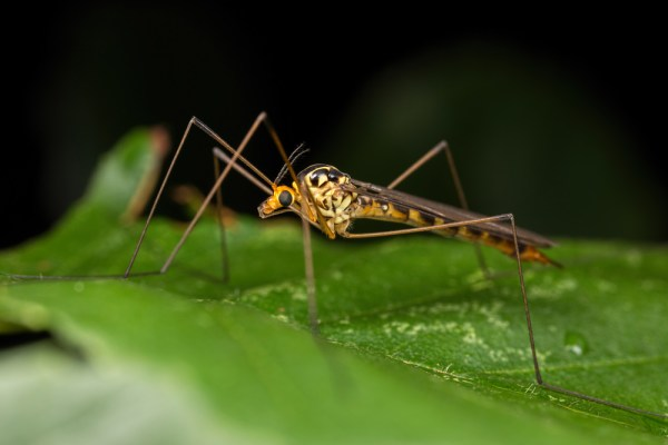 Tiger Crane Fly in profile