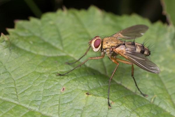 Dexiosoma caninnum fly
