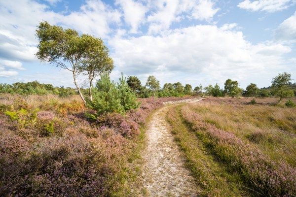 A path through the heather