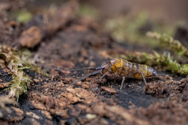 First Spring Springtail