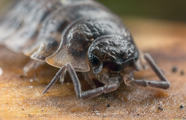 Woodlouse ( 3 images Stacked)