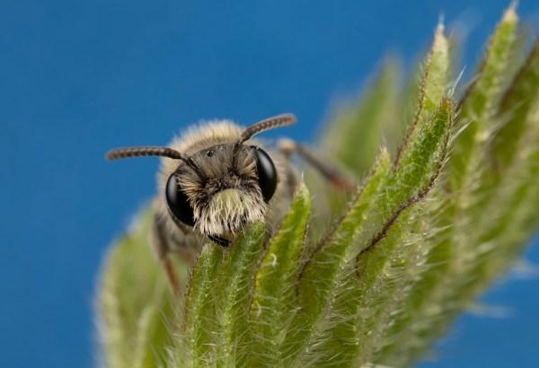 Minor Bee on Blue