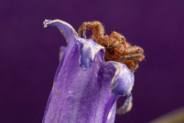 Crab Spider on Bluebell ( Purple background )