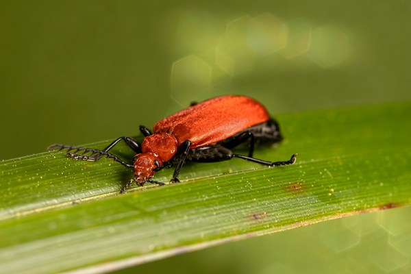 Red-headed Cardinal Beetle ( Green Background )