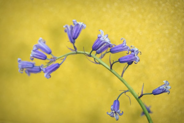 Bluebells against Gold Glitter Card