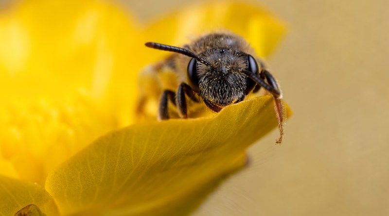 Bee Buttercup Rest