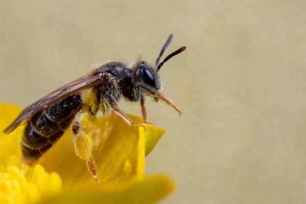 Bee walking on a Buttercup