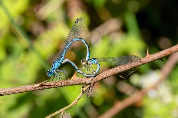 Mating Common Blue Damseflies
