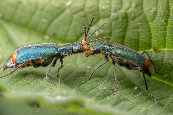 Common Malachite Beetles Head to Head