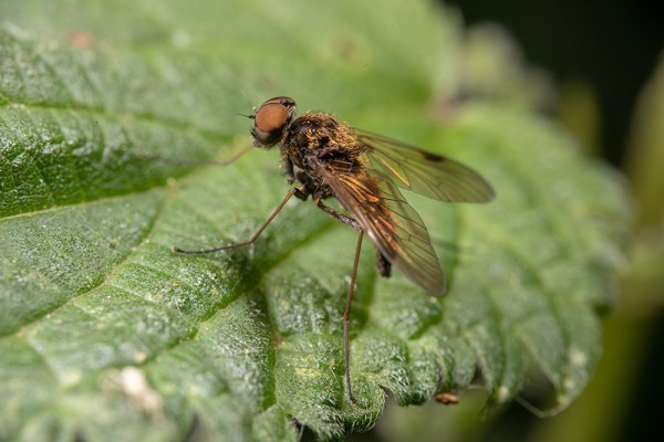 Black Snipe Fly