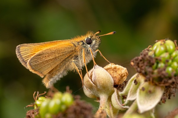 Skipper on brambles