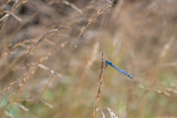 Damselfly in the grasses