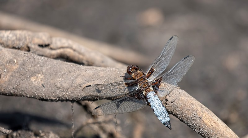 Male Broad-bodied Chaser on a tree root