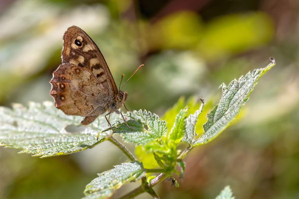 Speckled Wood Butterfly on Nettles