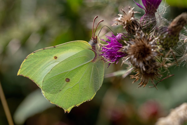 Brimstone butterfly nectaring on a thistle