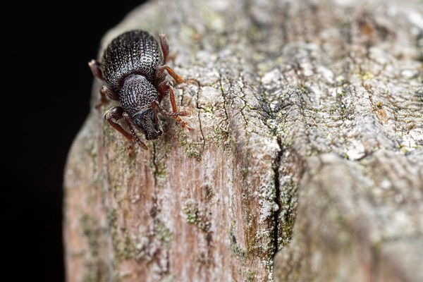Black Weevil crawling down a post