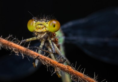 Happy Red-Eyed Damselfly