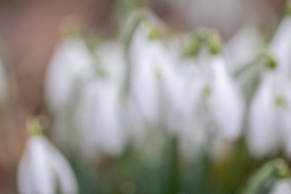 Out of focus snowdrops