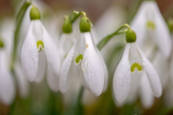 Pre Merged Snowdrops
