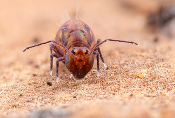 Dicyrtoma fusca (8 images at F8) Helicon Focus 7