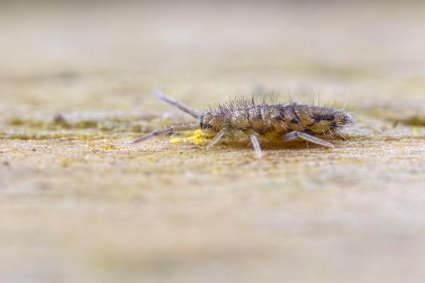 Tiny Elongated Springtail