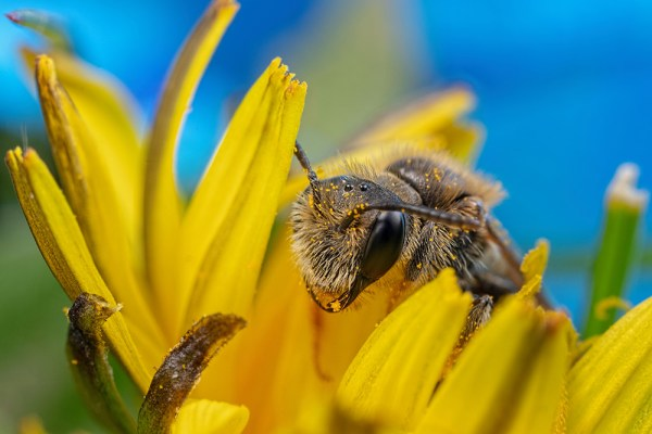 Small Bee in a dandelion