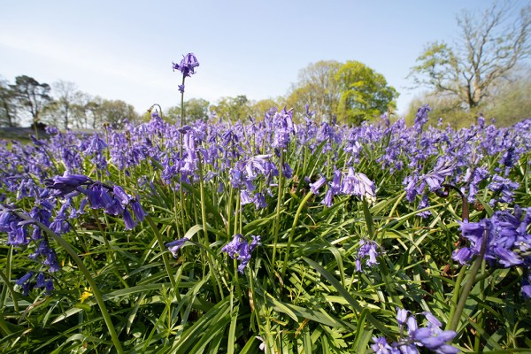 Wide angle close up of bluebell field
