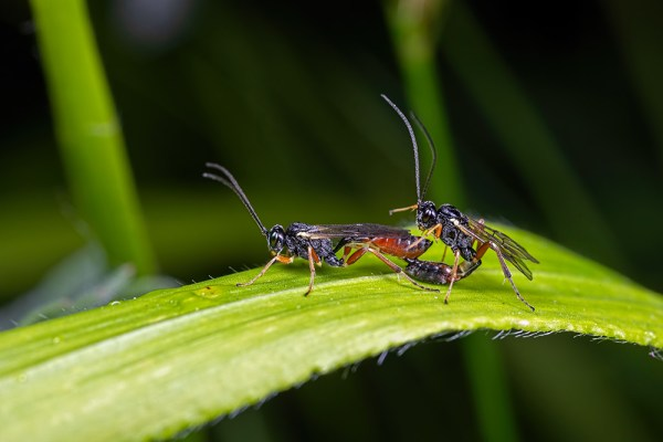 Mating Sawflies