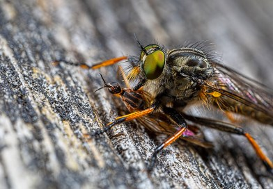 Robberfly feeding on fly